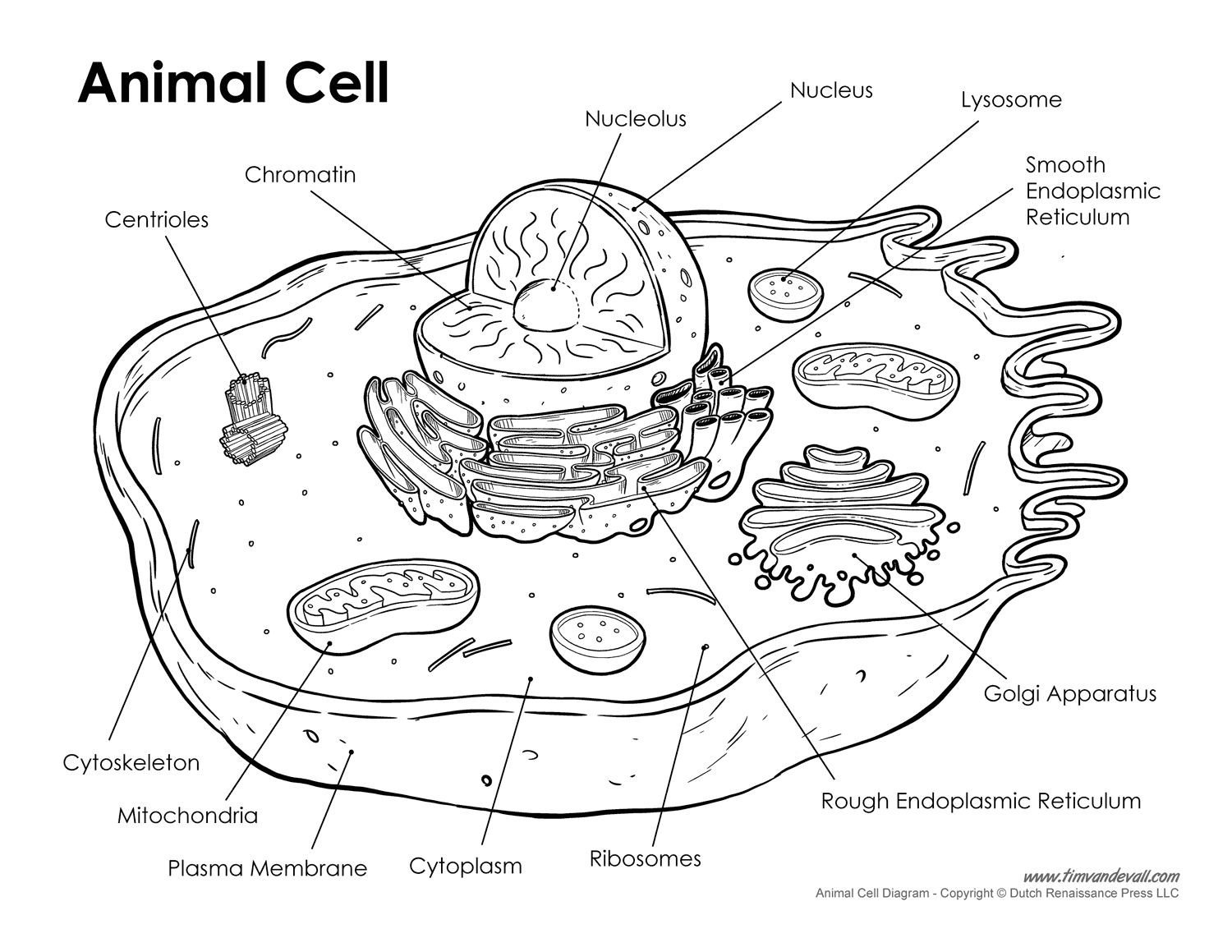 Animal Cell Blank Worksheet Related Image