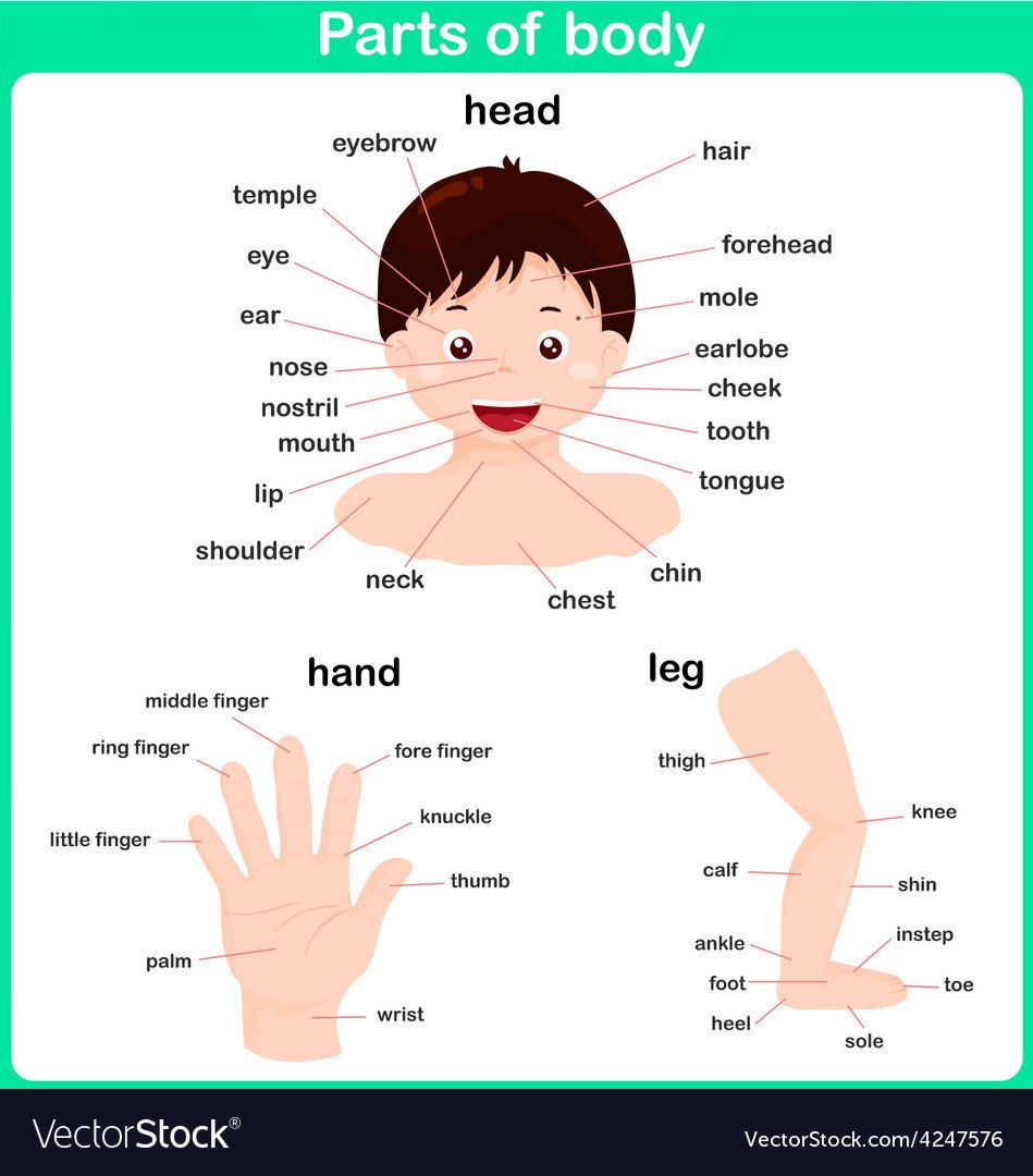 leaning parts of body for kids worksheet vector