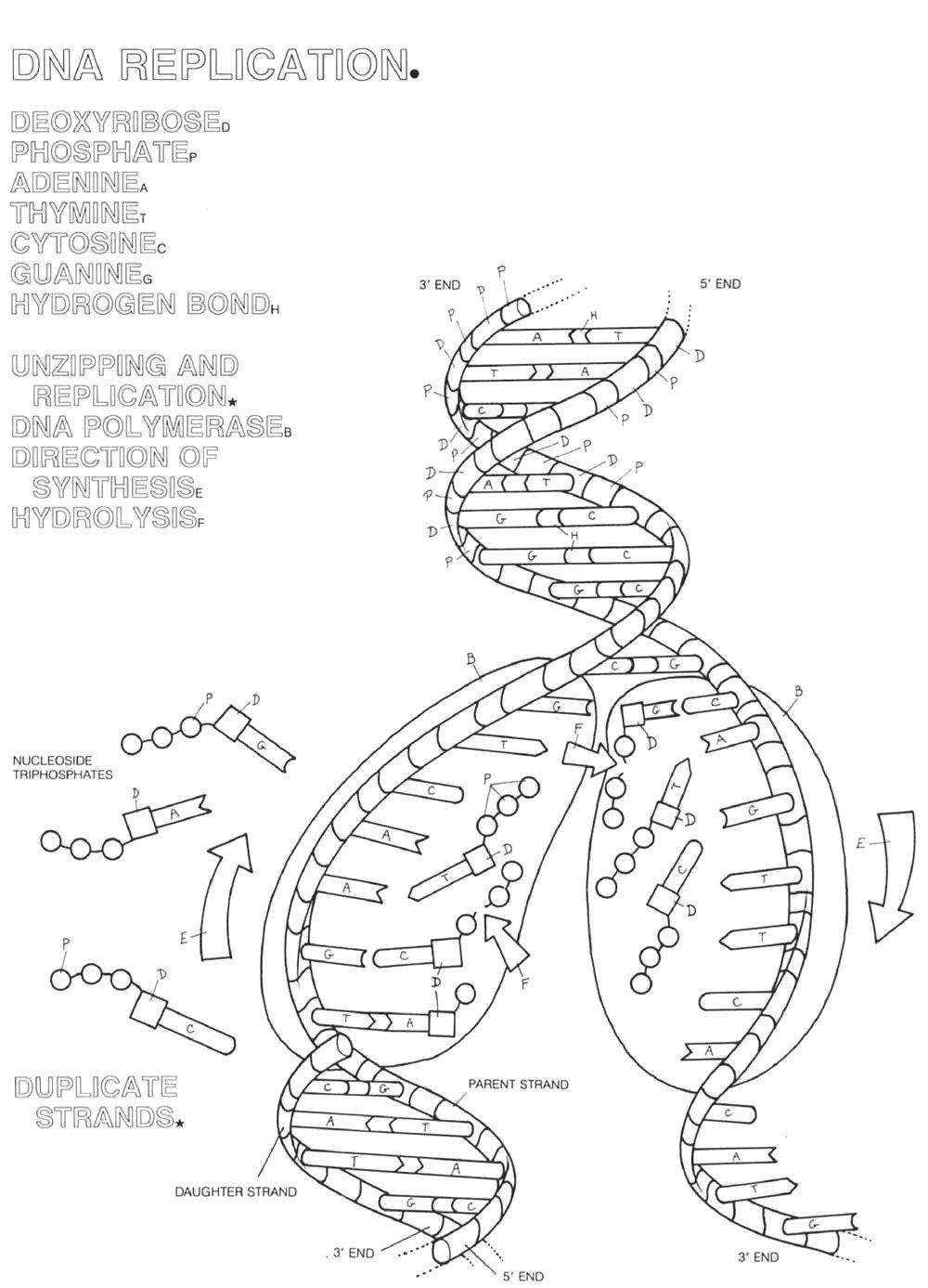 Skills Worksheet Dna Structure Dna Coloring Page Coloring Home