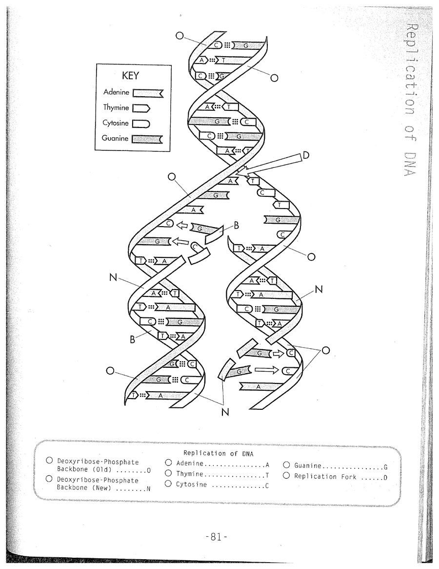 Skills Worksheet Dna Structure Dna Replication Coloring Worksheet
