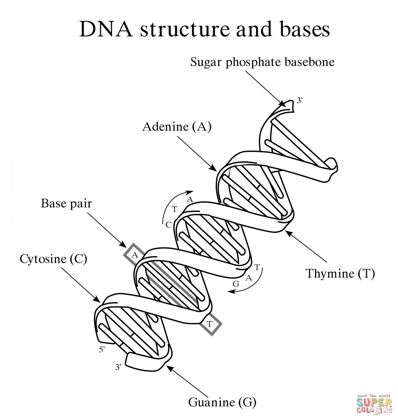 Skills Worksheet Dna Structure Dna Replication Drawing at Getdrawings Free Checkpoint