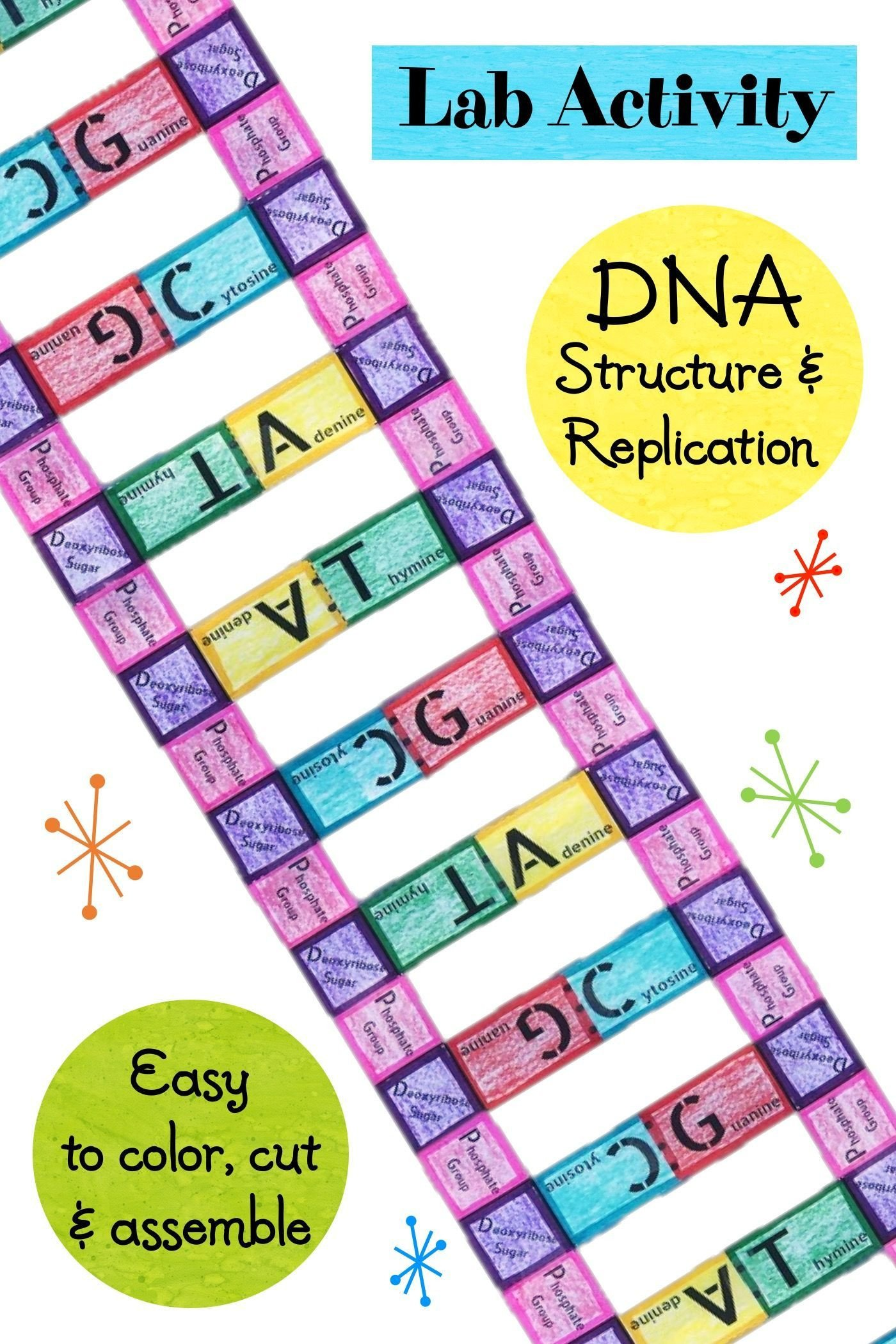 Skills Worksheet Dna Structure Lab Activity Dna Structure and Replication