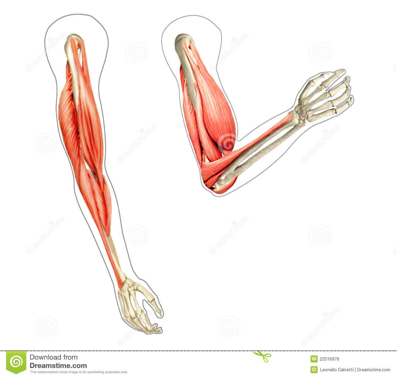 Unlabeled Muscle Diagram Worksheet Muscle Diagram Blank Human Body Anatomy