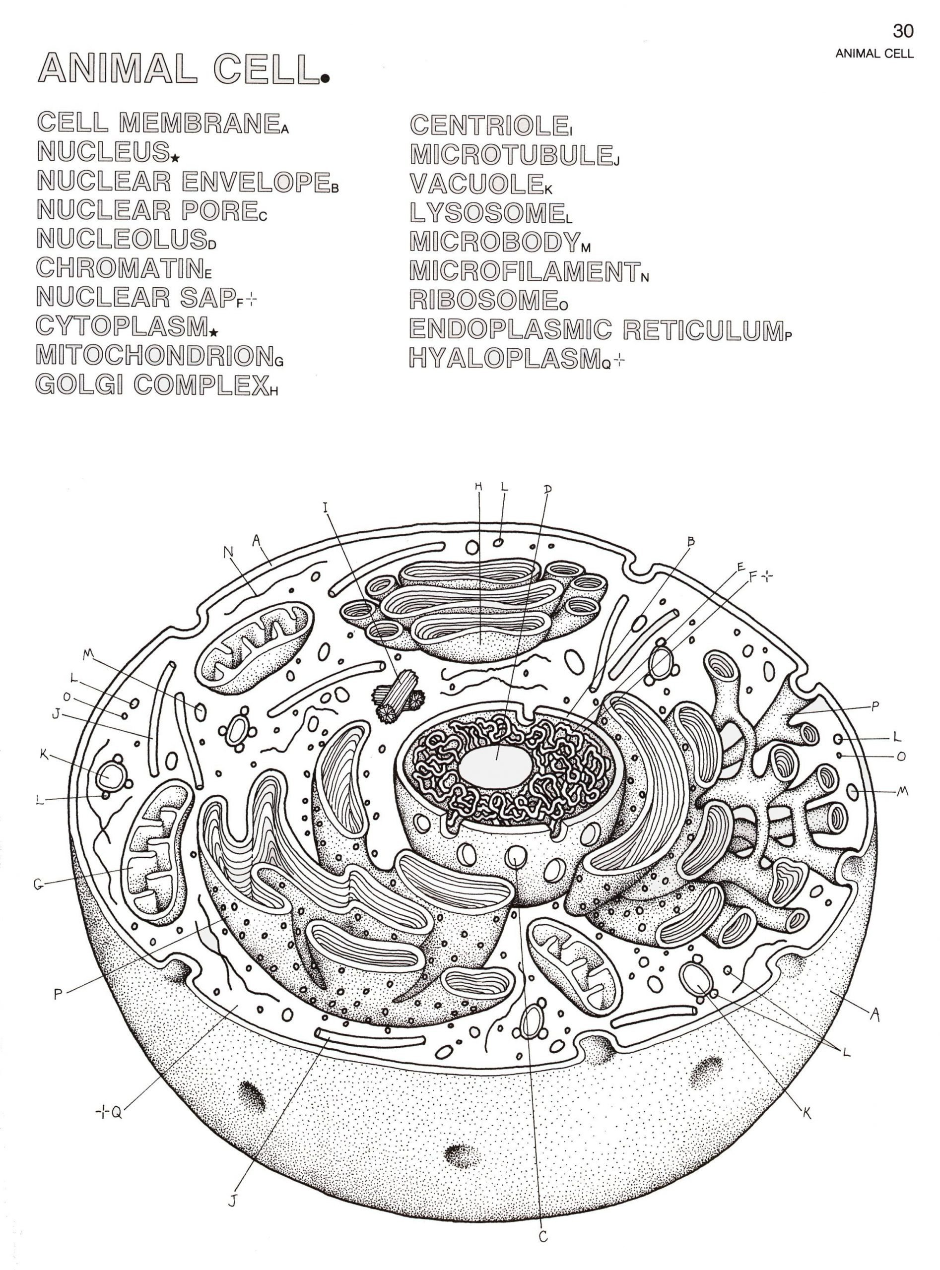 Animal Cell Label Worksheet Animal Cell Labeling Tags Animal Cell Coloring Sheet