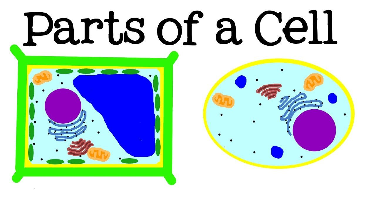 Animal Cell Worksheet 5th Grade All About Cells and Cell Structure Parts Of the Cell for Kids Freeschool