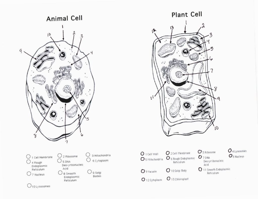 Cell organelle Coloring Worksheet Animal Cell Coloring Worksheet