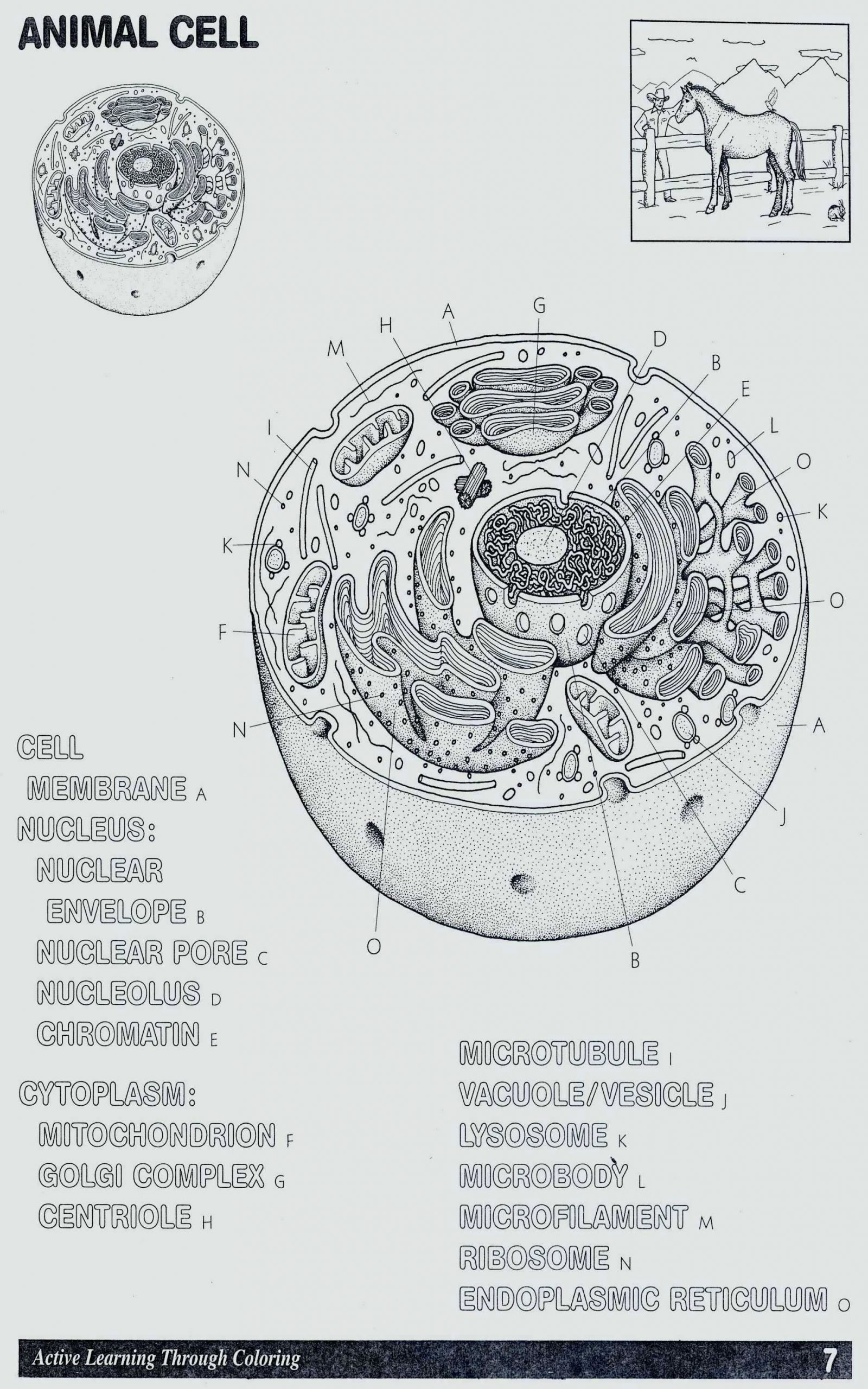 Cell organelle Coloring Worksheet Coloring the Animal Cell In 2020