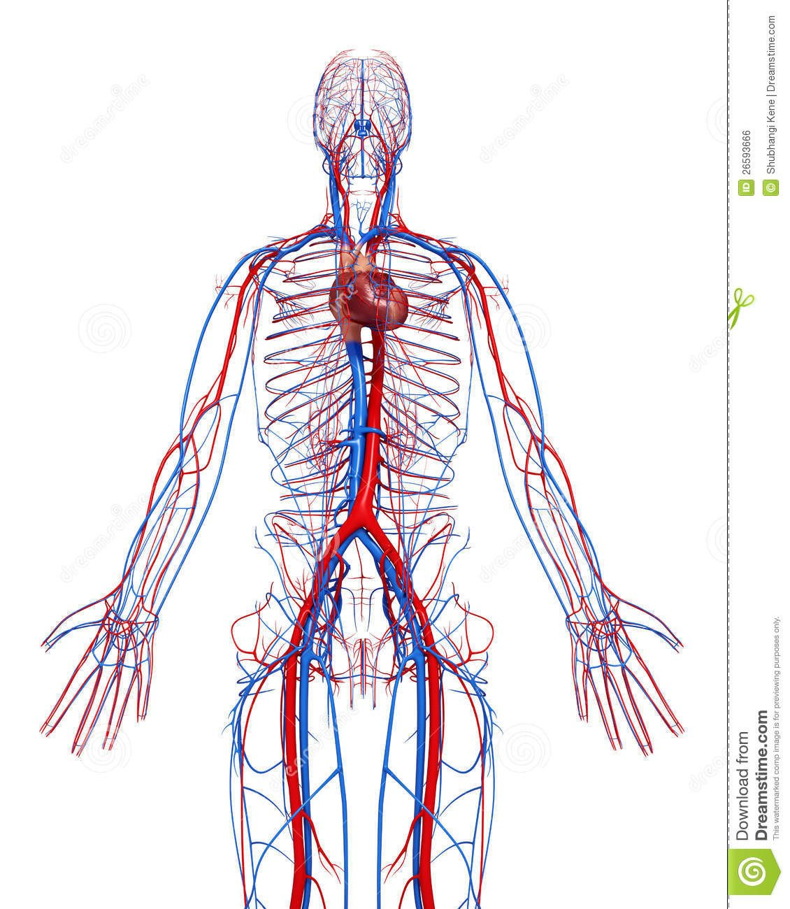 Circulatory System Coloring Worksheet Circulatory System Male with Heart Stock Illustration