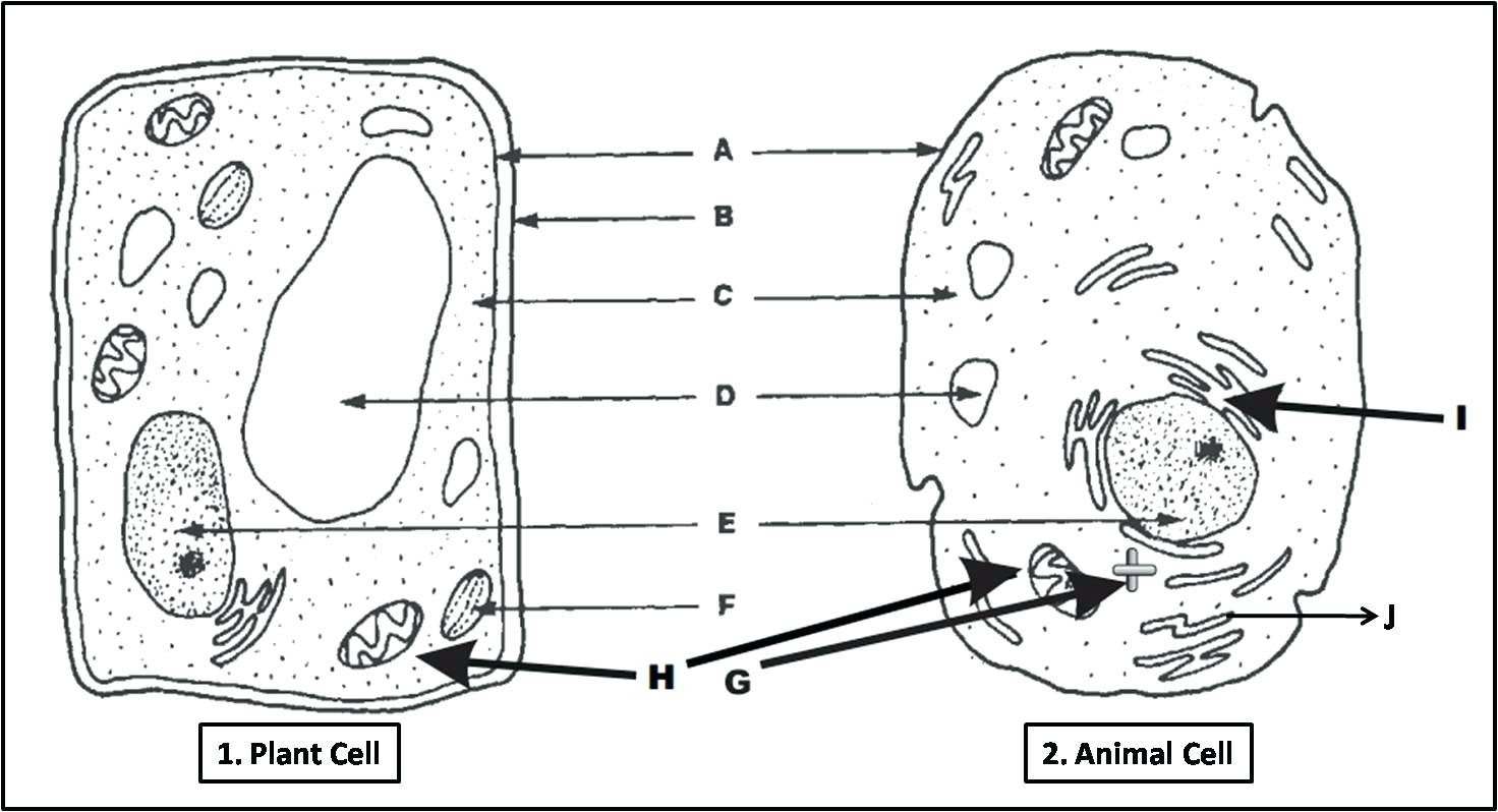 label an animal cell worksheet 13