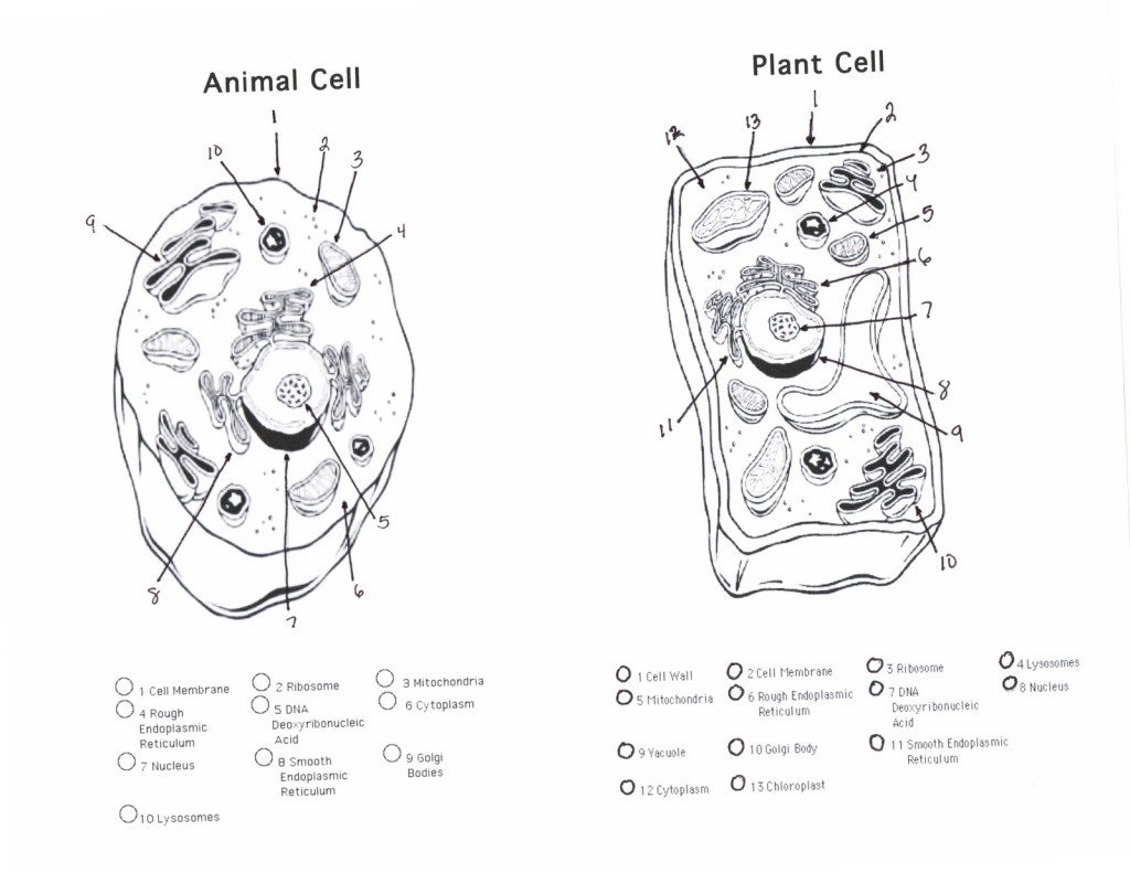 Labeling An Animal Cell Worksheet Plant and Animal Cells Diagram Quiz Biological Science