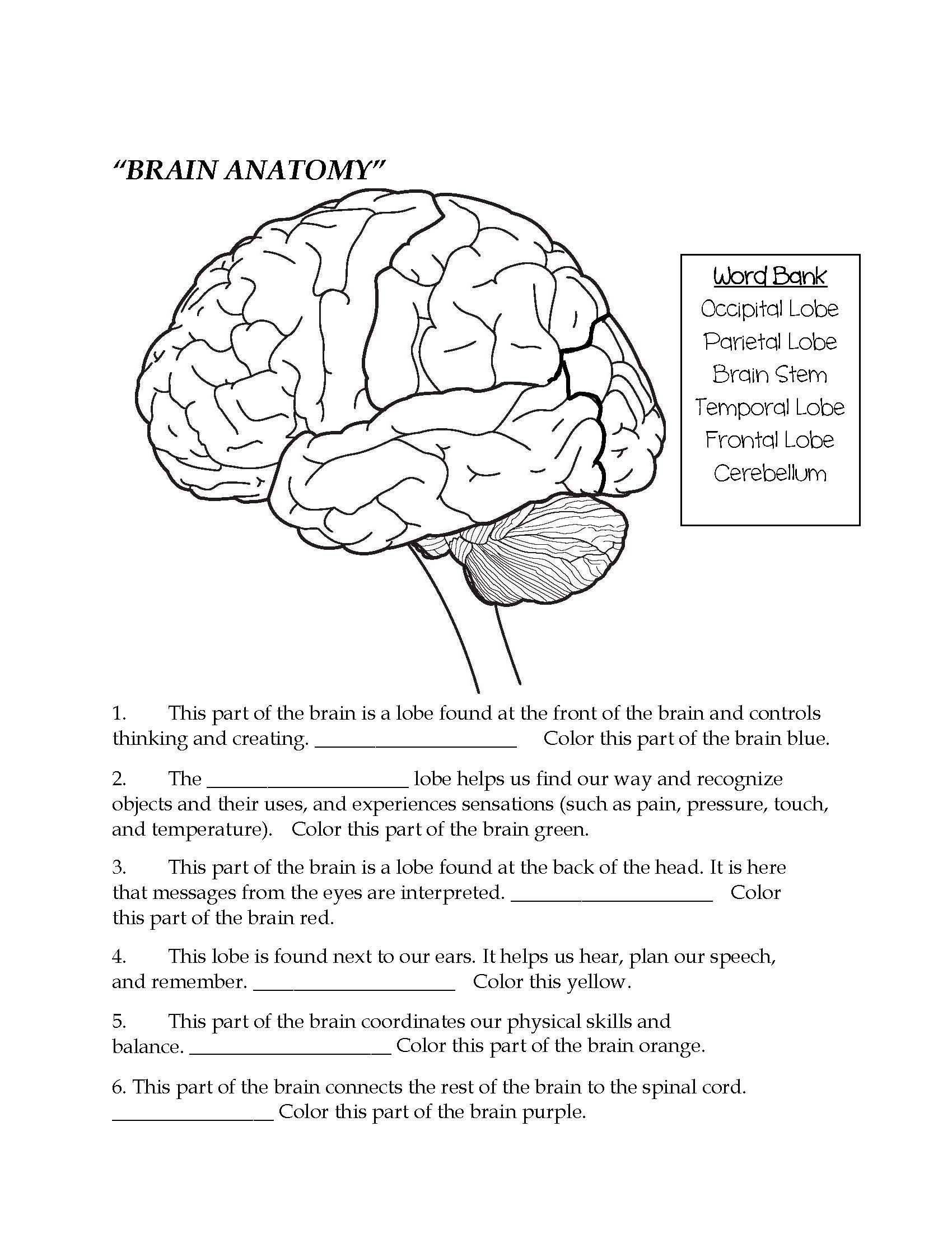 Nervous System Coloring Worksheet Brain Parts Fill In the Blank & Color