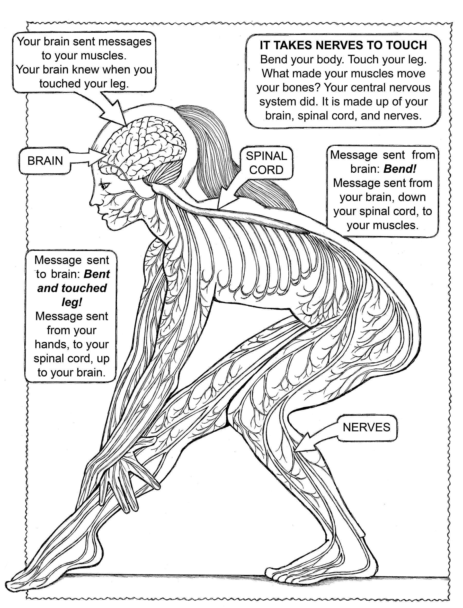 Nervous System Coloring Worksheet Coloring My First Book About the Five Senses Dover Your