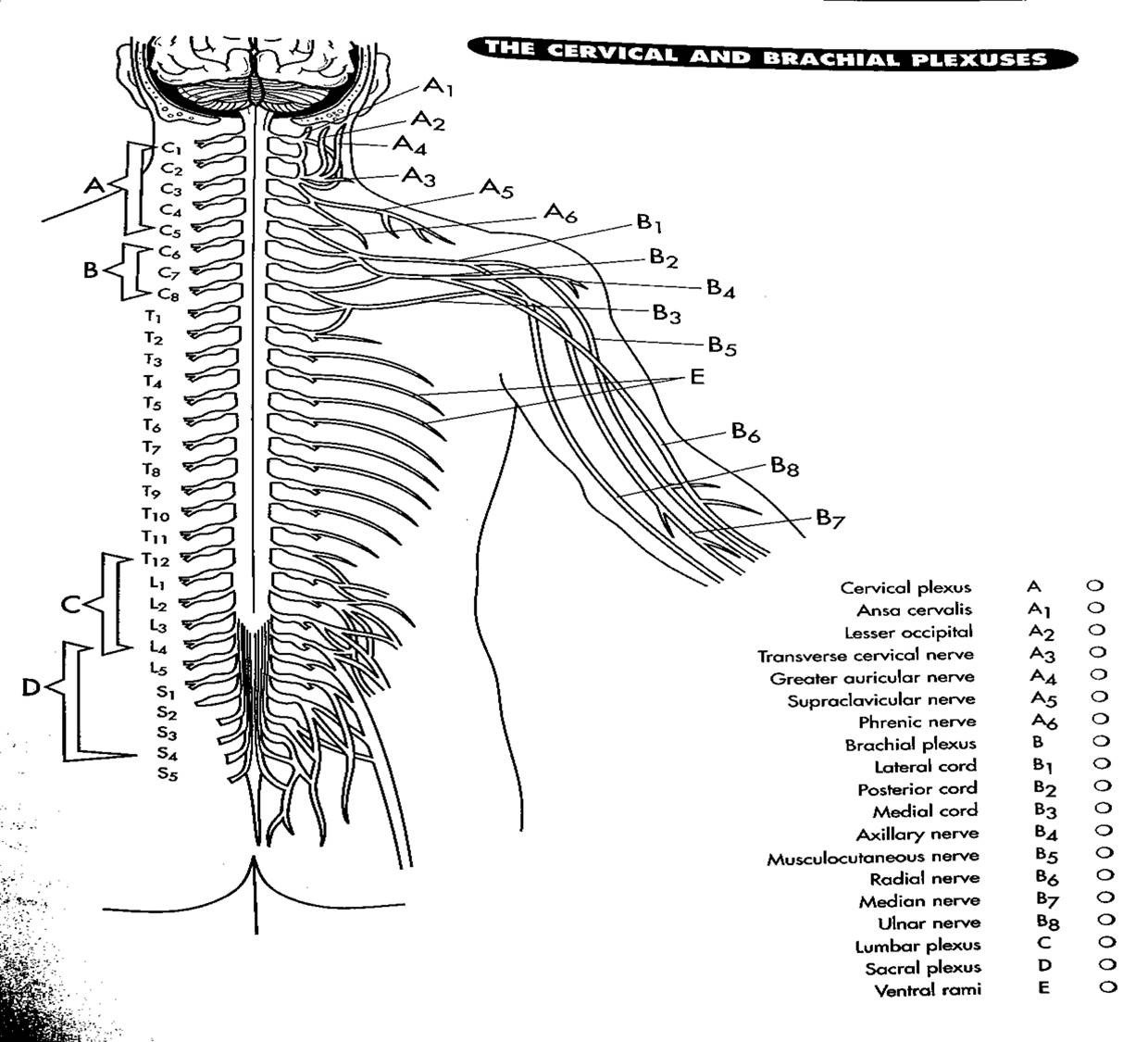 cervical and brachial plexus