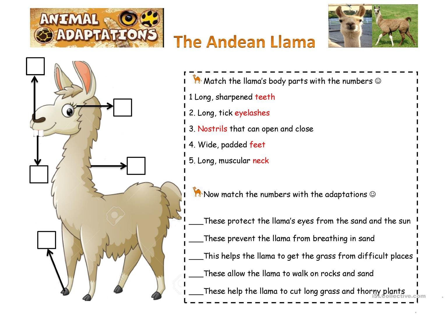 animals adapatations the llamas worksheet templates layouts 1
