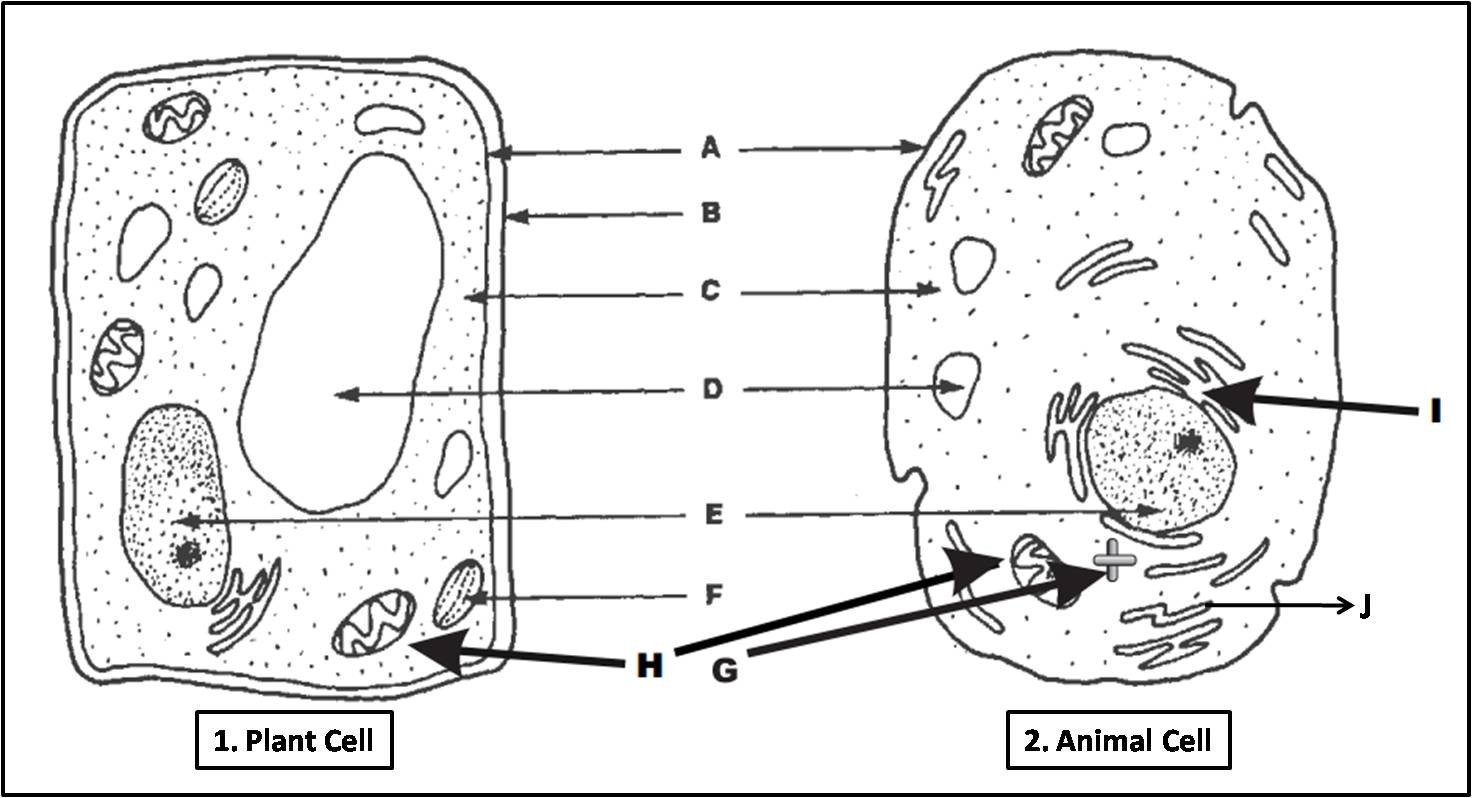 labeled diagram Plant cell and animal cell parison 1