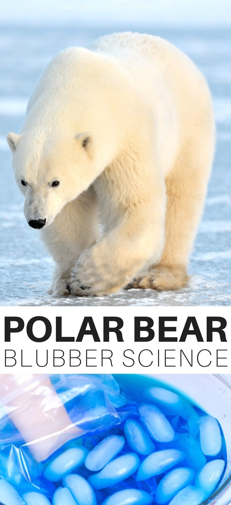 Polar Bear Worksheets Kindergarten Polar Bear Blubber Experiment
