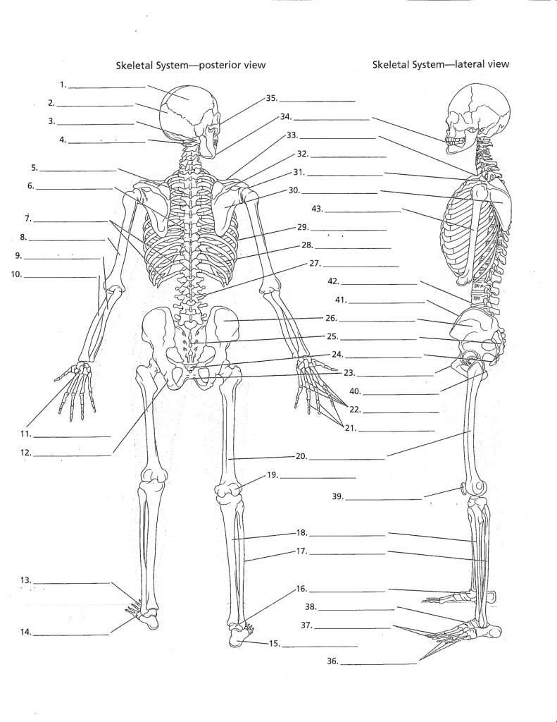 Skeletal System Coloring Worksheet Pin On Human Anatomy Drawing