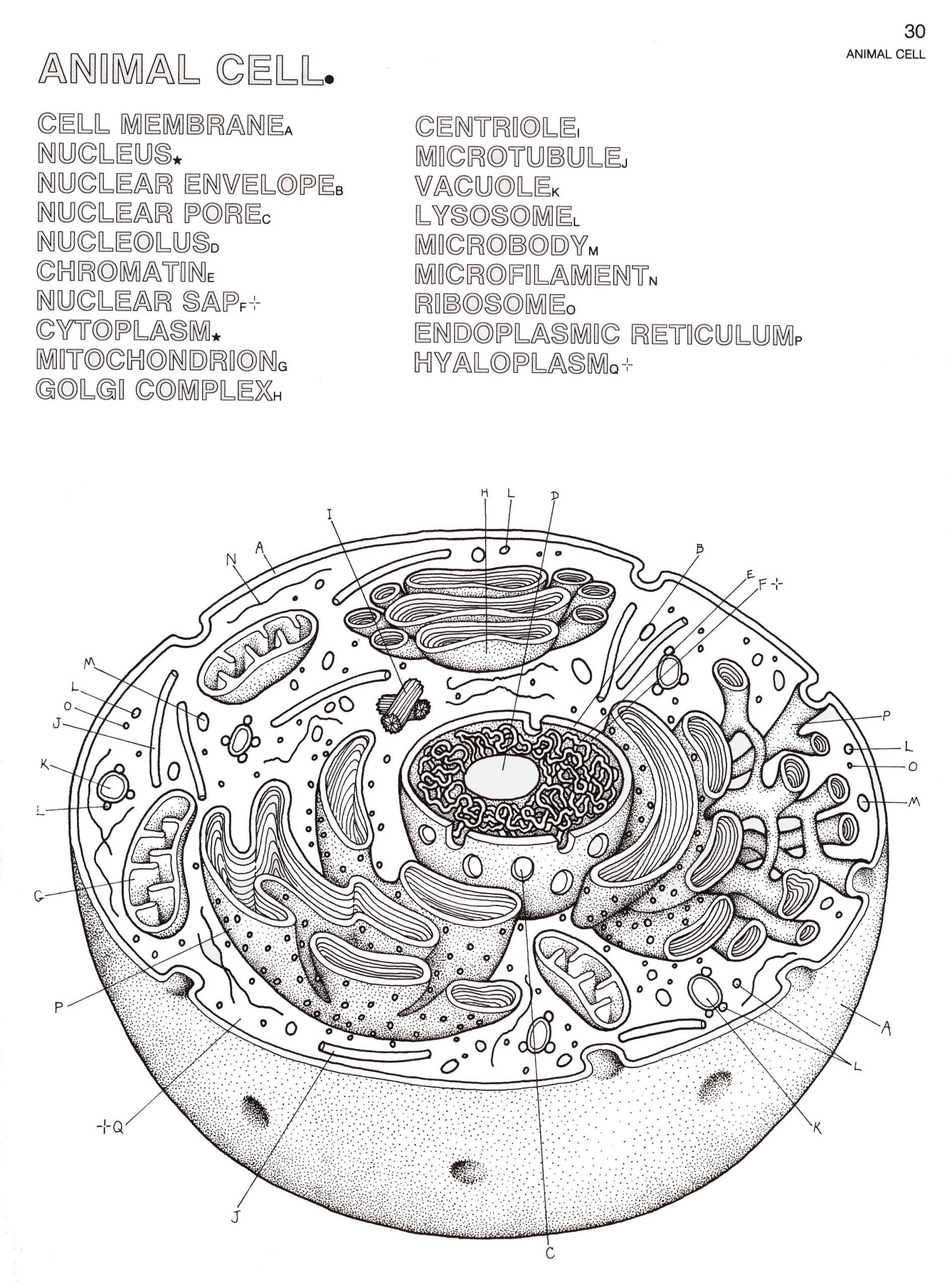 plant and animal cells diagram worksheet 13