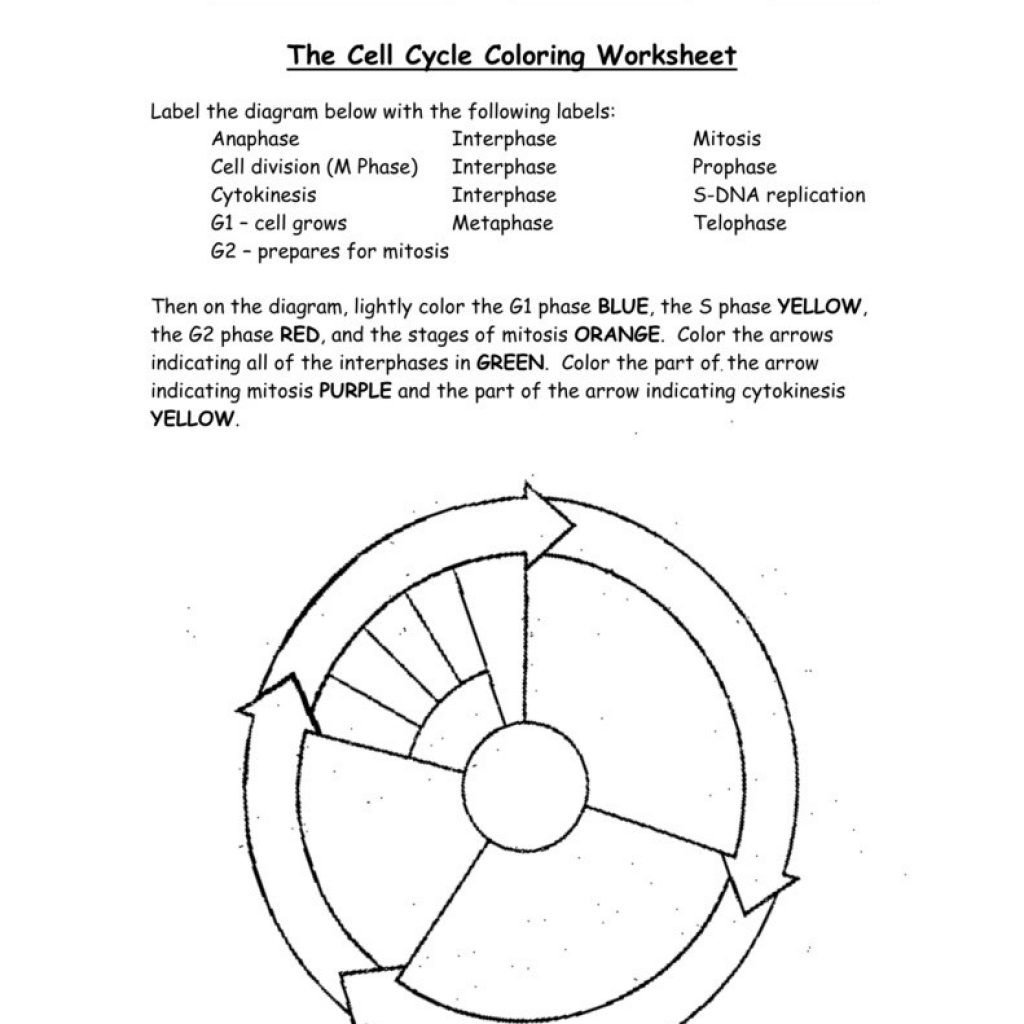 Mitosis Coloring Worksheet Answer Key 31 Cell Cycle Coloring Worksheet Answers Worksheet