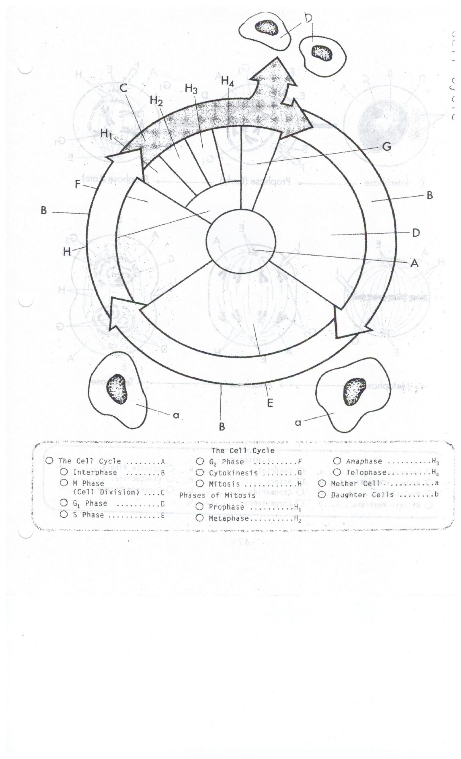 Mitosis Coloring Worksheet Answer Key Biocp