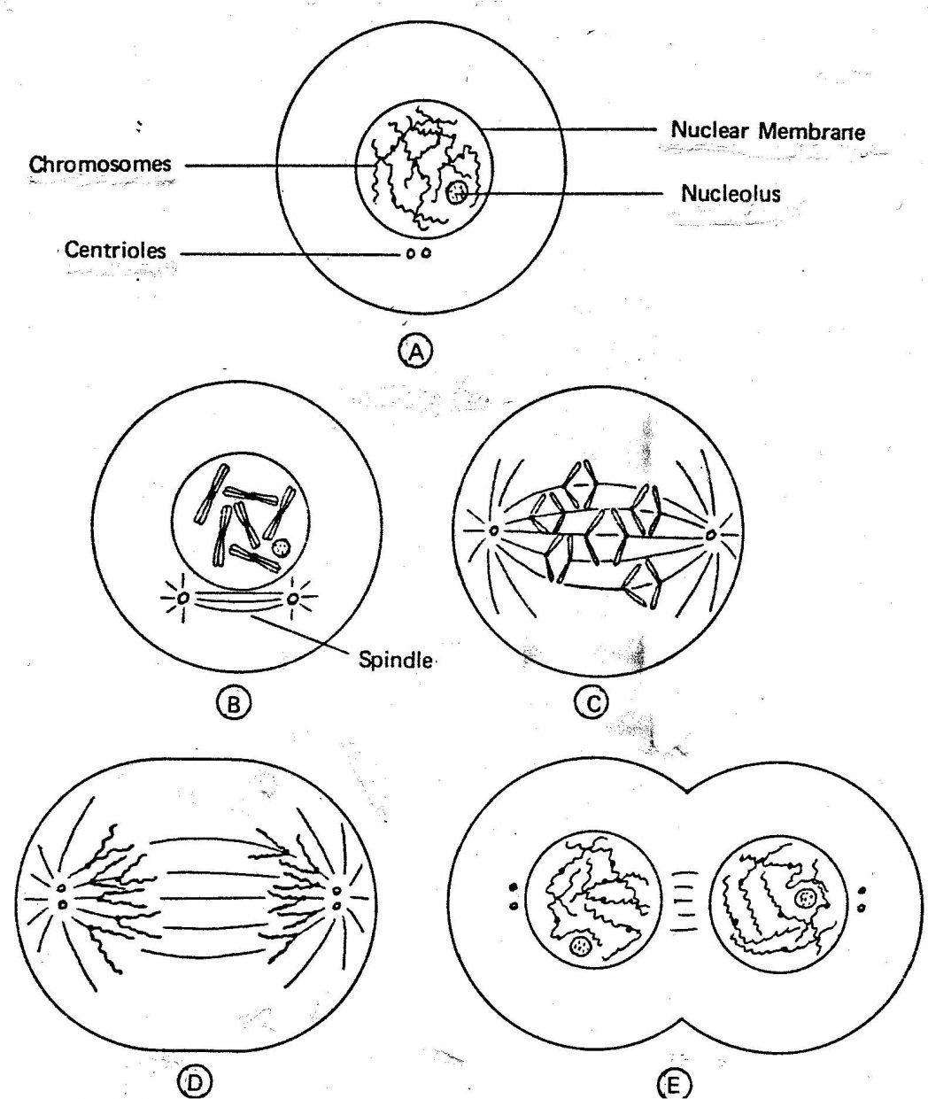 Mitosis Coloring Worksheet Answer Key Drawing Mitosis Worksheet