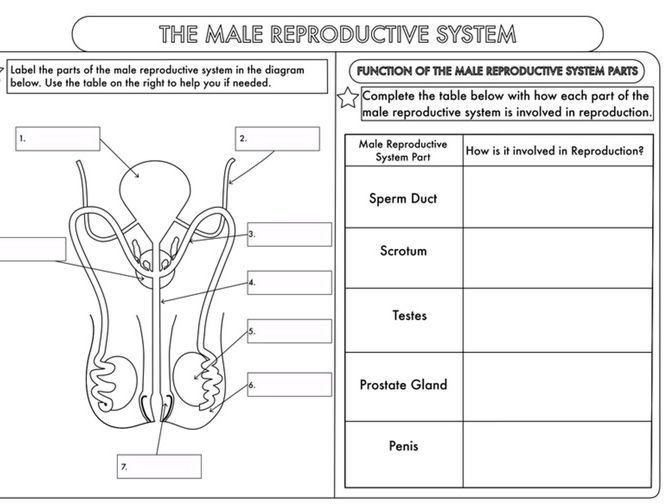 Fetal Development Worksheet High School Gcse Worksheets On Human Reproduction