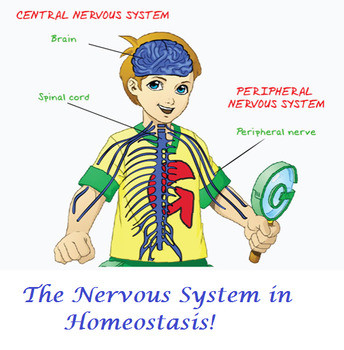 Homeostasis Worksheet High School High School Homeostasis Lesson the Nervous System
