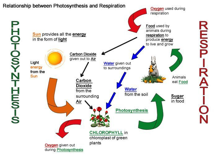 Photosynthesis Diagram Worksheet High School Cellular Respiration Diagram Worksheet