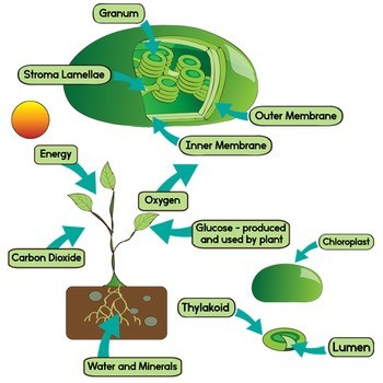 Photosynthesis Diagram Worksheet High School Leaf Diagram and Synthesis Clip Art Color and Blackline Illustrations