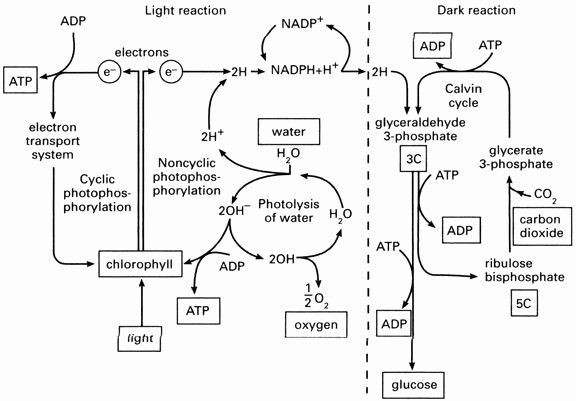 Photosynthesis Diagram Worksheet High School Synthesis Diagrams Worksheet Answers Lovely Synthesis