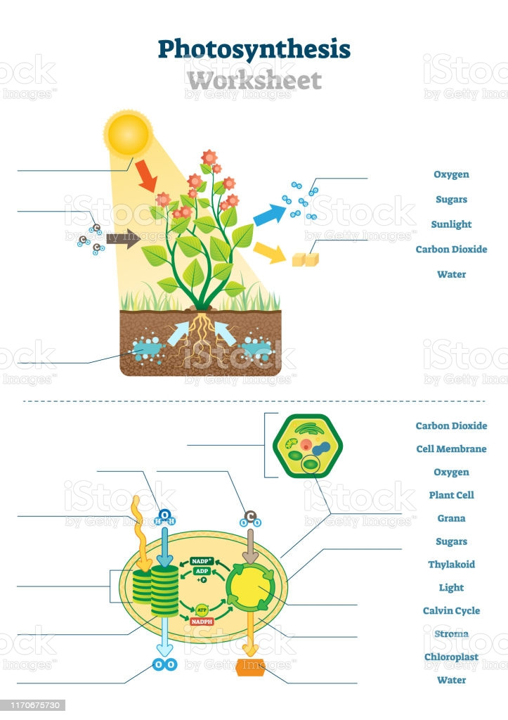 Photosynthesis Diagram Worksheet High School Synthesis Worksheet Vector Illustration Blank Oxygen Process Template Stock Illustration Download Image now