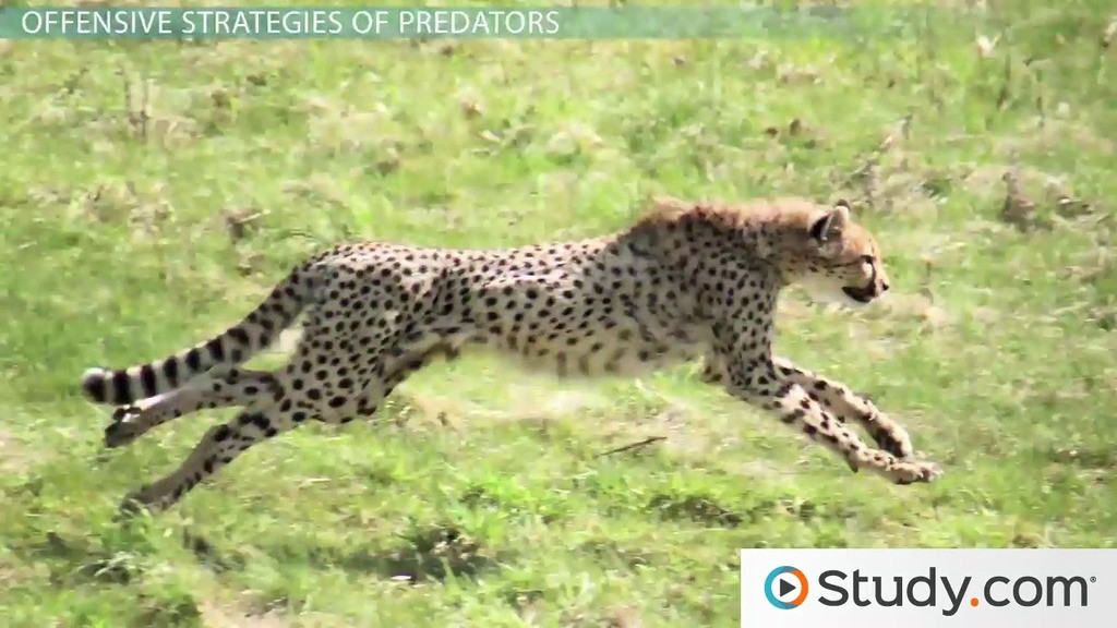 Predator Prey Worksheet High School Predator Prey Interactions Camouflage Mimicry & Warning Coloration Video