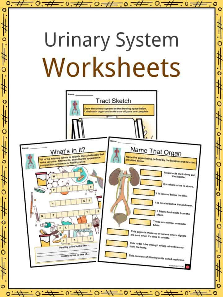 Urinary System Worksheet High School Urinary System Facts Worksheets Functions Parts