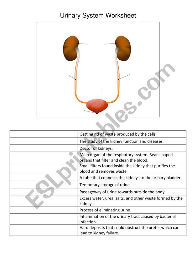 Urinary System Worksheet High School Urinary System Worksheet Esl Worksheet by Mcar 07